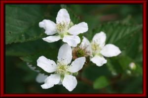 ブラックベリー(ソーンレス)の花